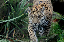 Jaguar (Panthera onca) by Marcus Skupin