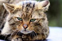 Wildkatze (Felis silvestris) von Marcus Skupin