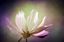 Cosmos flower in soft pink - Cosmea in sanftem Licht by Annette Hanl