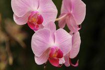 rosa Orchiedee von Sandra Fried