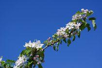 Apfelbaumzweig im Frühling von gscheffbuch