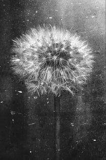 Dandelion in Black and White by Jon Woodhams