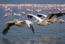 Pelicans in Flight by Antonio Jorge Nunes