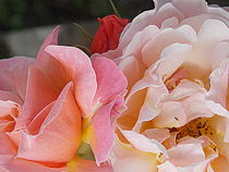 Old Fashioned Roses by bebra