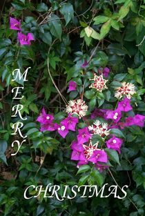 Purple Christmas Garden Flowers by Carmen Lambert