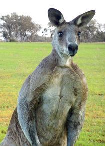 Eastern Gray Kangaroo von Chris Edmunds