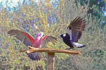 Galah and Magpie argument von Chris Edmunds
