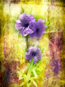 Flowering Mexican Petunias by Judy Hall-Folde