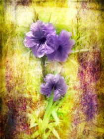 Flowering-mexican-petunia-2