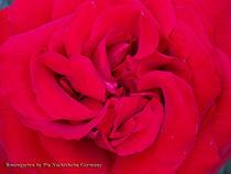 Herz der Rose von Pia Nachtsheim