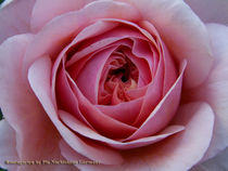 Pink Rose by Pia Nachtsheim