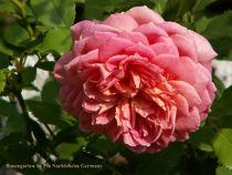 English Rose von Pia Nachtsheim
