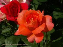 Rose Samaritan von Pia Nachtsheim