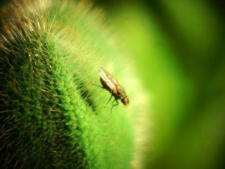 Fliege-auf-mohnknospe