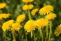 Butterblumen, dandelion von Sabine Radtke