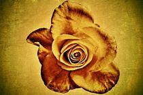 Rose 1899 von leddermann