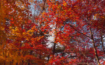 Trees Of Fire At Cloudland Canyon von John Bailey