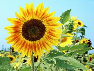 Ok-sunflower