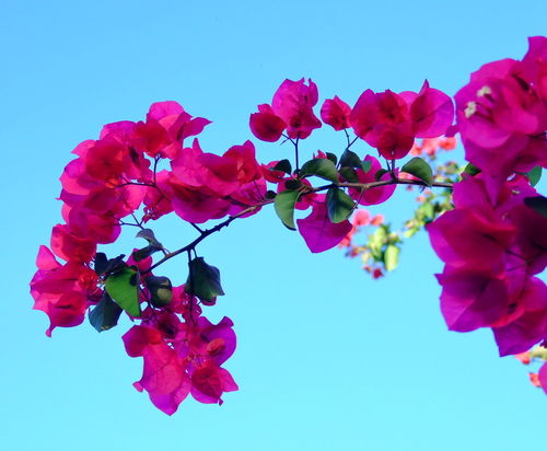 Fusia-flowers