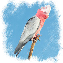 Australian Galah by Chris Edmunds