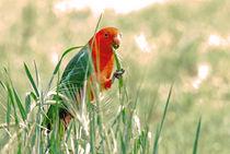 Australian King Parrot feeding by Chris Edmunds