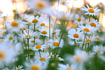 daisies at sunset by steflei