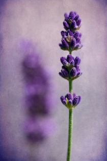 Lavender by Barbara Corvino