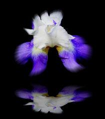 Blütenträume 9 Lilie von Walter Zettl