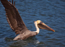 Pelican Take Off von John Bailey