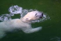 Eisbär (Ursus maritimus) / Polar bear by Marcus Skupin