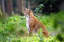 Eurasischer Luchs (Lynx lynx) von Marcus Skupin