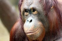 Orang-Utan (Pongo) von Marcus Skupin