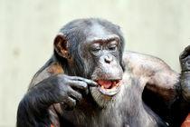 Schimpanse (Pan) / Chimpanzee by Marcus Skupin