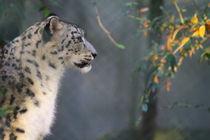Schneeleopard (Uncia uncia) by Marcus Skupin