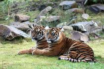 Sumatratiger