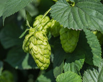 Hops For Beer by Priya Ghose
