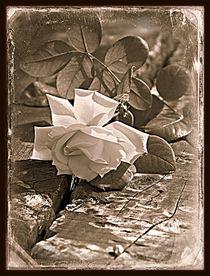 Vintage Rose by Clare Bevan