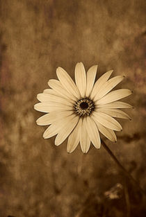 'Vintage Daisy' by CHRISTINE LAKE