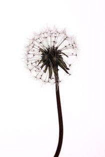 Dandelion von John Barratt