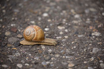 In a hurry - vineyard snail crossing the street by Jörg Sobottka