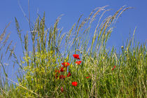 Poppy and blue sky - Kaiserstuhl - Germany von Jörg Sobottka