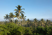 Palm trees by Karen Cowled