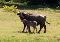 Water buffalo von Karen Cowled