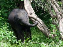 Baby Elephant von Karen Cowled