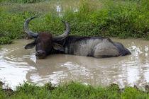 Water Buffalo von Karen Cowled