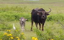 Mother and Child Water Buffalo von Karen Cowled