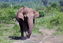 Elephant by Karen Cowled