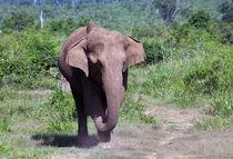 Elephant von Karen Cowled