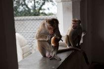 Monkeys by Karen Cowled
