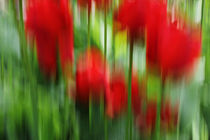 Tulpen-wisch-quer